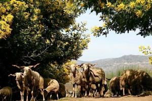schapen 1